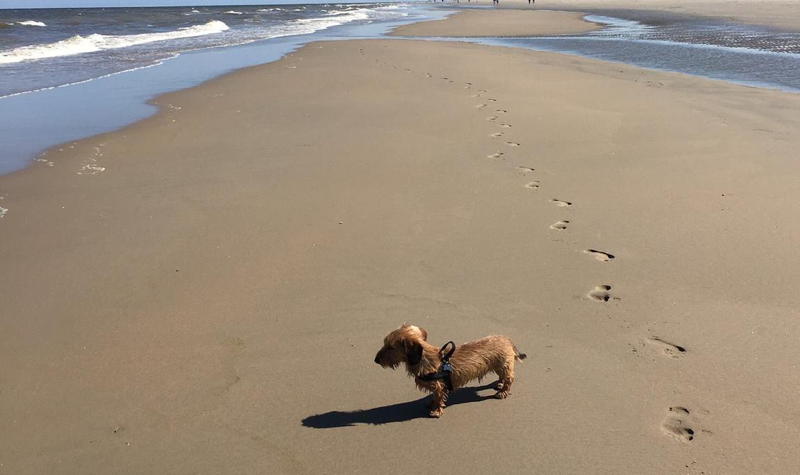 ruwharige teckel hond op het strand katwijk nieuws actueel rijnsburg